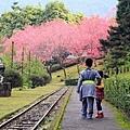 九族櫻花祭1.JPG