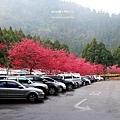 九族櫻花祭4.JPG