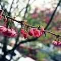 九族櫻花祭8.JPG