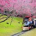九族櫻花祭17.JPG