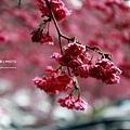 九族櫻花祭16.JPG