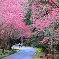 九族櫻花祭15.JPG