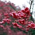 九族櫻花祭21.JPG