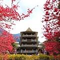 九族櫻花祭28.JPG