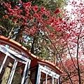 九族櫻花祭30.JPG