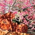 九族櫻花祭35.JPG