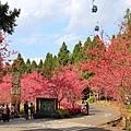 九族櫻花祭38.JPG