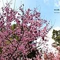 九族櫻花祭42.JPG
