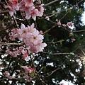九族櫻花祭46.JPG