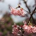 九族櫻花祭44.JPG