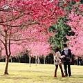 九族櫻花祭47.JPG