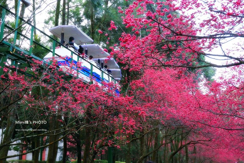 九族櫻花祭52.JPG