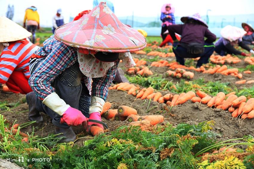 台南將軍採蘿蔔8.JPG