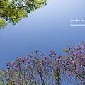 嘉義景點-圓林仔藍花楹油桐花-5.jpg