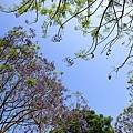 嘉義景點-圓林仔藍花楹油桐花-8.jpg