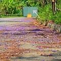 嘉義景點-圓林仔藍花楹油桐花-15.jpg