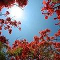 台南景點-安億橋鳳凰花-10.jpg