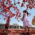 台南景點-安億橋鳳凰花-14.jpg