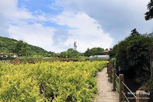 竹子湖繡球花-4.jpg
