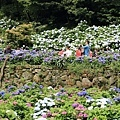 竹子湖繡球花-7.jpg