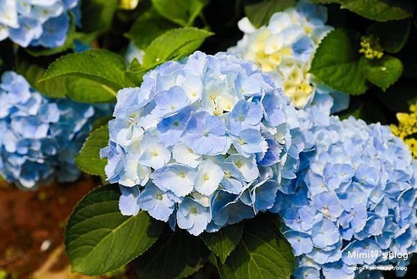 竹子湖繡球花-10.jpg