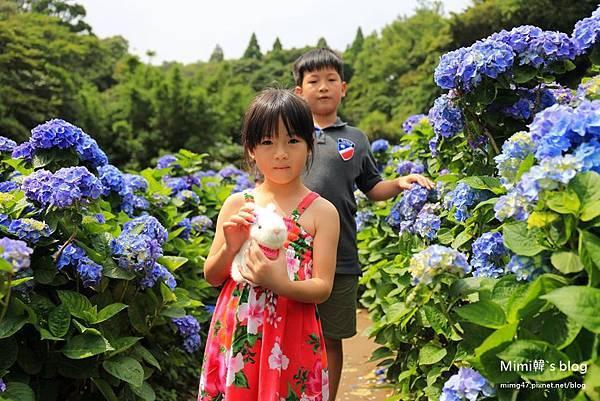 竹子湖繡球花-17.jpg