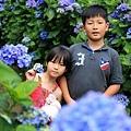 竹子湖繡球花-18.jpg