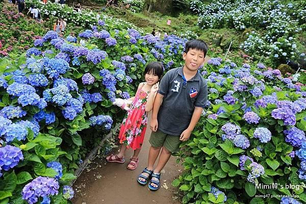 竹子湖繡球花-14.jpg