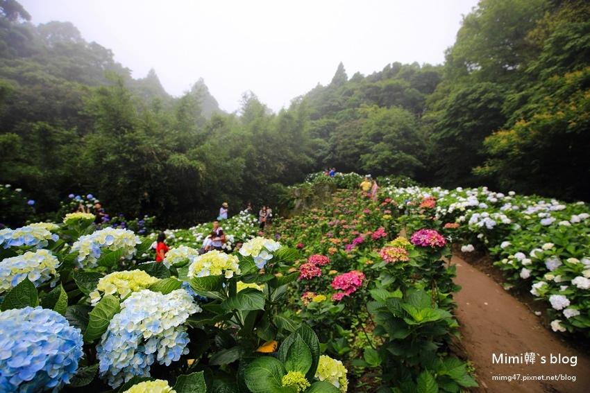 竹子湖繡球花-23.jpg