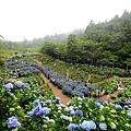 竹子湖繡球花-21.jpg