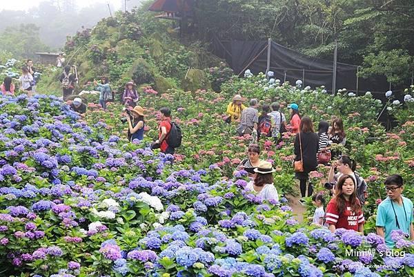 竹子湖繡球花-22.jpg