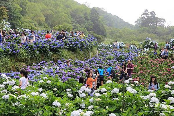 竹子湖繡球花-25.jpg