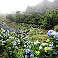 竹子湖繡球花-29.jpg