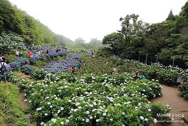 竹子湖繡球花-28.jpg