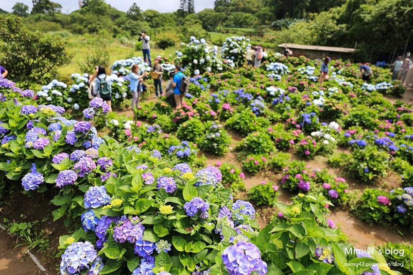 竹子湖繡球花-27.jpg