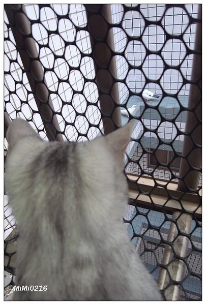 牠可以盯著那兩隻白鴿一個小時。