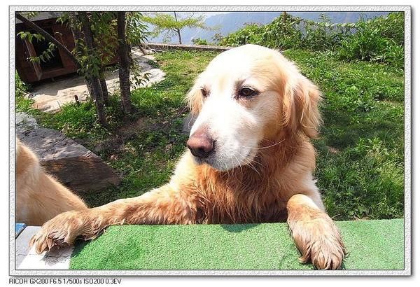 牠是陶子&李李仁託養給民宿照顧的狗狗唷。
