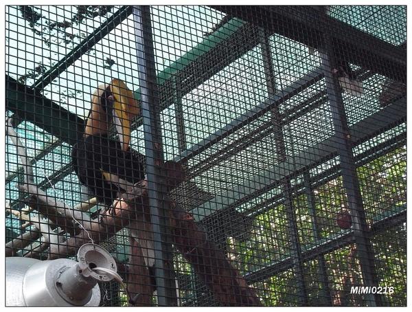 頭好大好平的非洲大鳥。