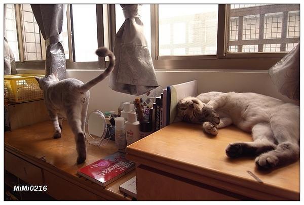 兩隻肥貓在我桌上撒野。