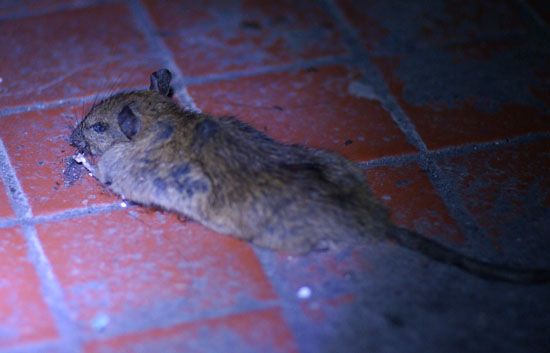 2/28 鼠屍