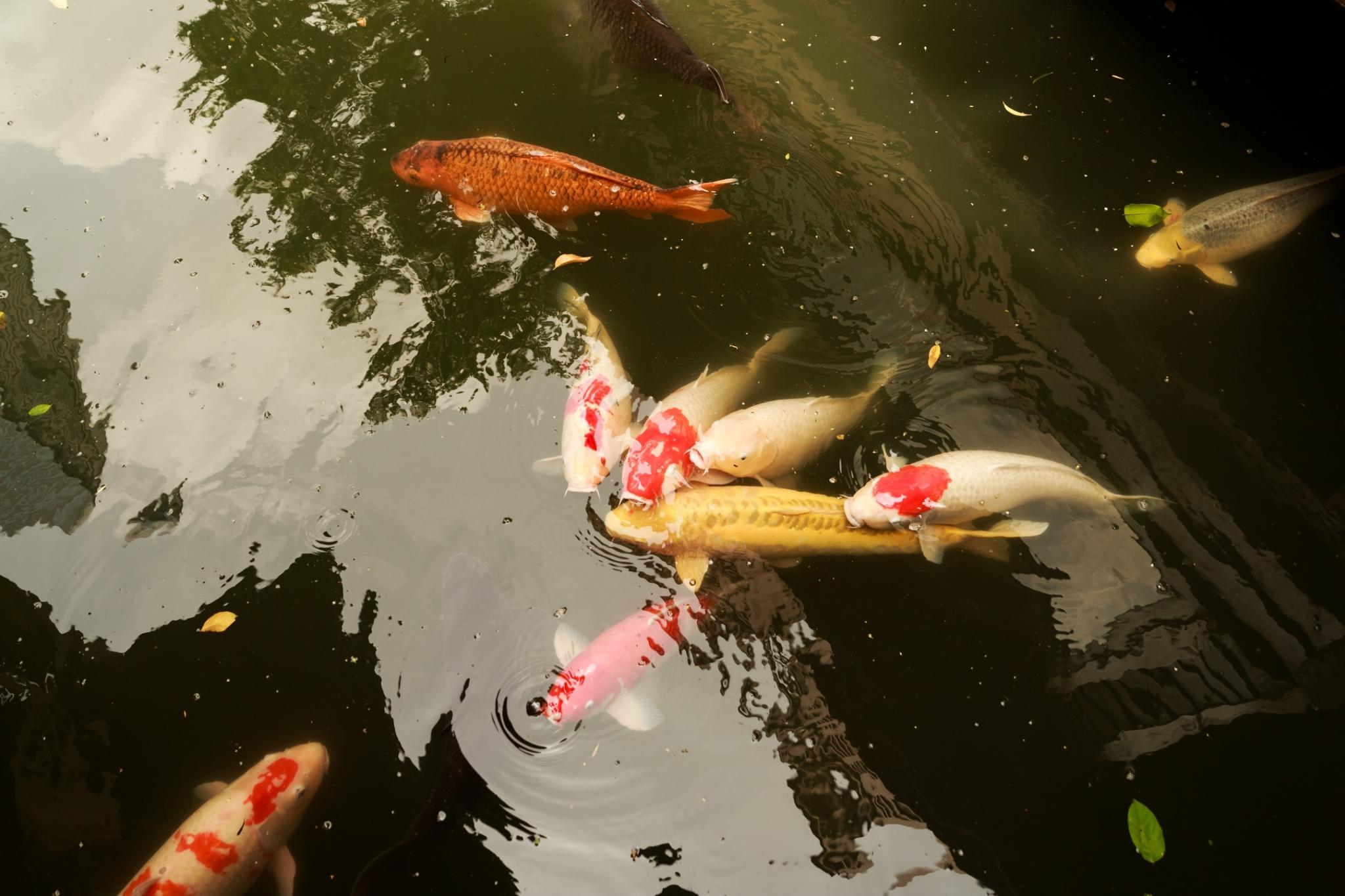 鯉魚.jpg