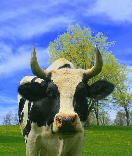 cow7.jpg