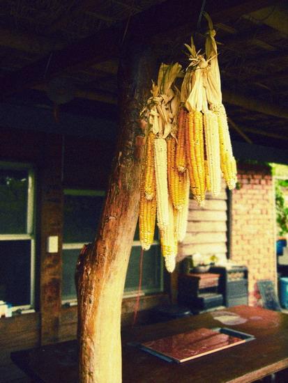 專門給飛鼠和麻雀啃食的玉米