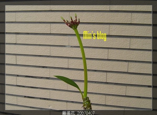 雞蛋花 20070407