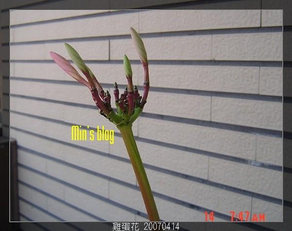 雞蛋花 20070414