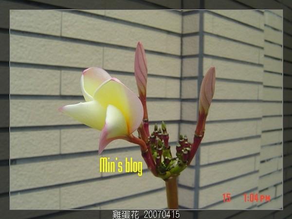 雞蛋花 20070415