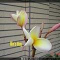 雞蛋花 20070417