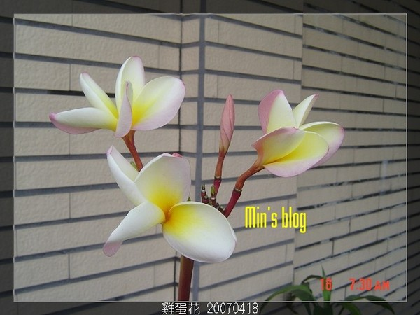 雞蛋花 20070418