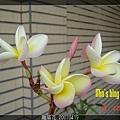 雞蛋花 20070419