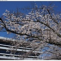 DSC08275 路邊的櫻花.JPG